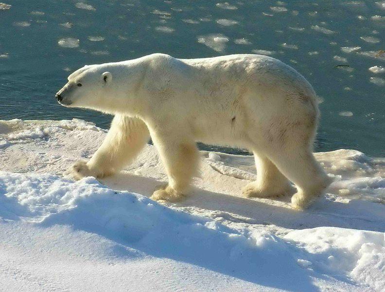 792px-Polar_Bear_2004-11-15.jpg