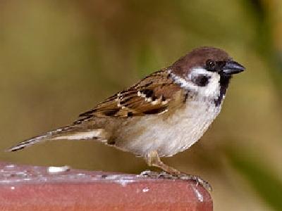 ABC sorrendben: madárnevek - képes játék - Page 5 Passer_montanus