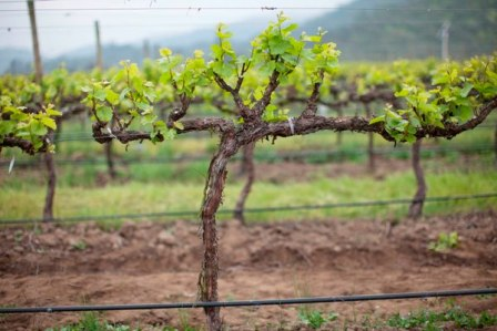 09-Casablanca-Valley_Los-Perales-vineyard_Spring_Chardonnay-Budbreak.jpg
