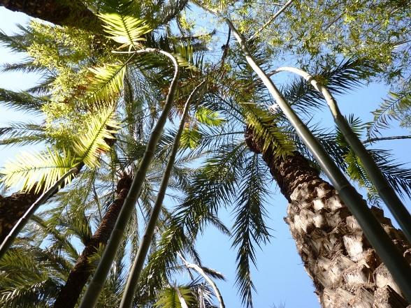 A pálmák között tekereg a pálma bambusz (Chamaedorea seifrizii).JPG