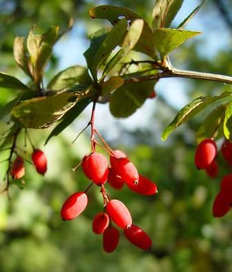 Berberis-vulgaris.jpg