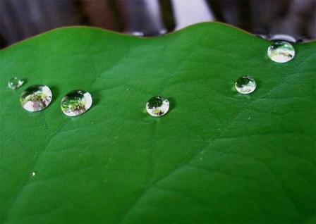 lotus-leaf-dew.jpg