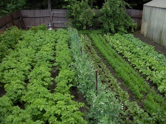 MacKenzie-vegetable-garden.jpg