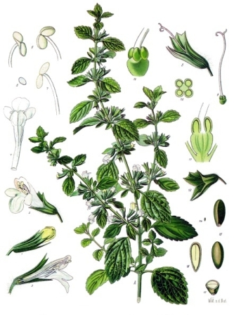 Melissa_officinalis_-_Köhler–s_Medizinal-Pflanzen-094.jpg