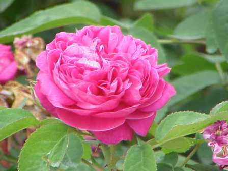 Rosa_damascena5.jpg