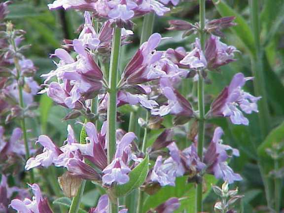 Salvia_officinalis0.jpg