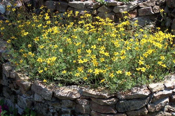 bidens-ferulifolia-golden-star.jpg