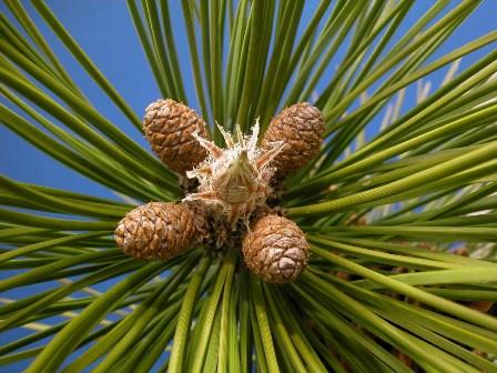 PinusResinosa2.jpg