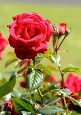 Rózsa a kertben, rózsaápolás