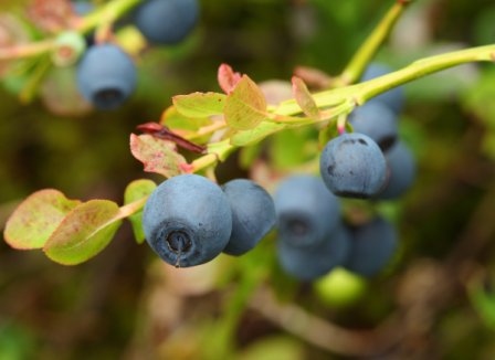 Vaccinium myrtillus (bilberry)-resized-600.jpg