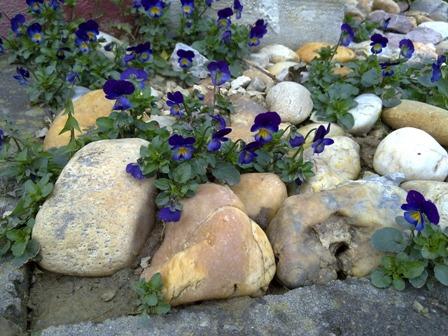 kerti árvácska a kövekben.jpg