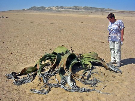 Welwitschia_mirabilis(1).jpg