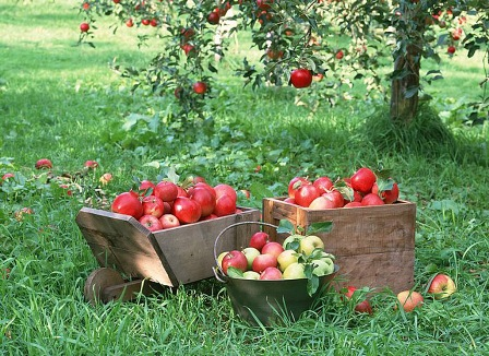 fruit-apples-apple-tree.jpg