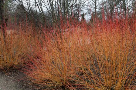 CORNUS ALBA 'MIDWINTER FIRE'.jpg