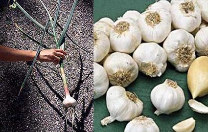 Garlic Allium sativum.jpg