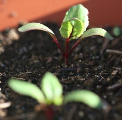 beetroot seedlings.jpg