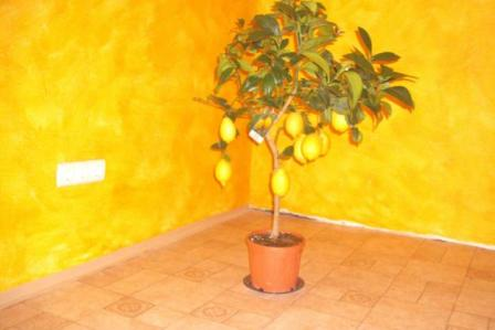 1299867753_176385084_1-Fotok--citromfa-kumquatfa-es-mas-mediterran-noveny-elado.jpg