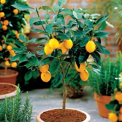 szagűző-növény-02.jpg