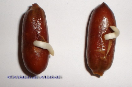 Date palm seed germination 2.jpg