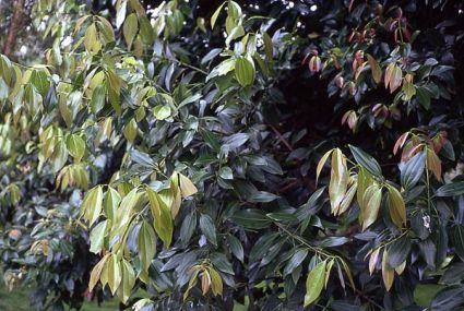 Cinnamomum zeylanicum.jpg