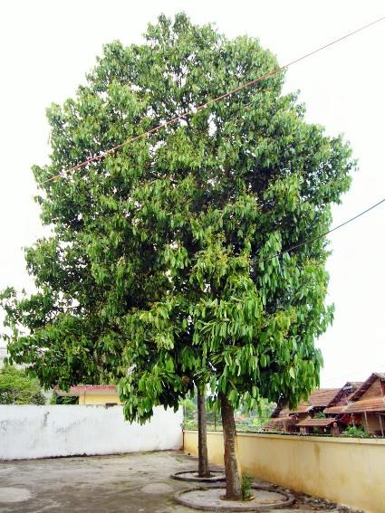 Cinnamomum_cassia_04.jpg