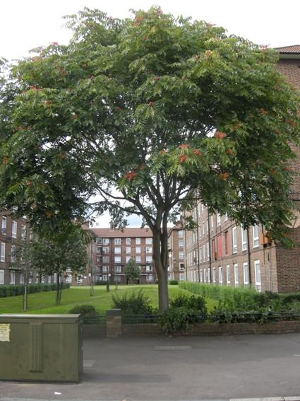 ailanthus-altissima-e1313740696667.jpg