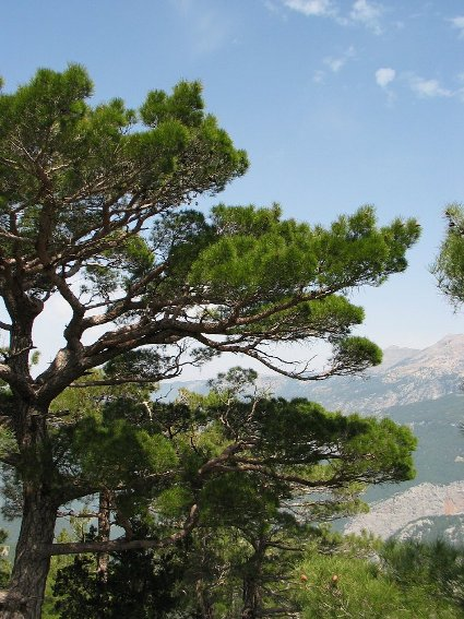 Krimden__Pinus_nigra_caramanica__Turkish_black_pineimg_7394.jpg