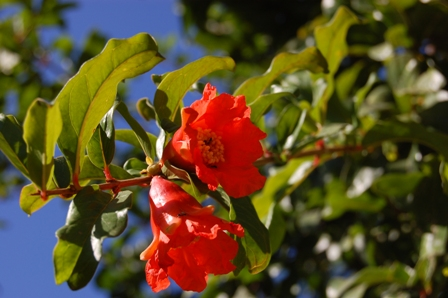 punica-granatum-flower.jpg