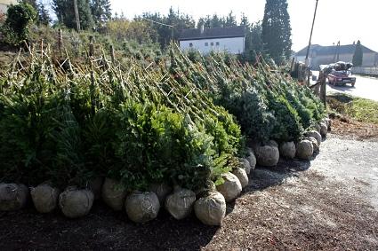 Dézsás karácsonyfa rendelhető a Megyeri kertészetből!