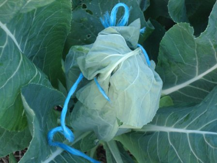 Cauliflower tied up.jpg.JPG