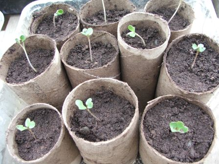 cauliflower-seedlings (1).jpg