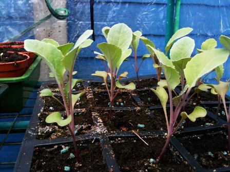 cauliflower-seedlings.jpg