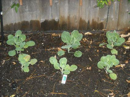 Nov_23_brussels_sprouts_bed_1.jpg