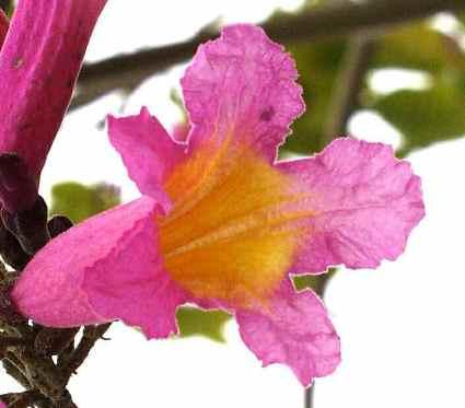Tabebuia_impetiginosa_-_Flower_3-27-00_5.jpg