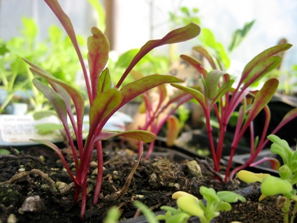Swiss-Chard-Seedlings_1641.JPG
