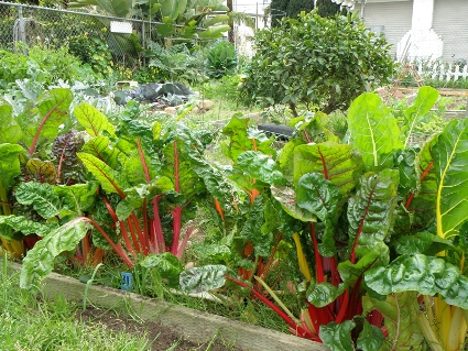 swiss-chard-community-garden.jpg
