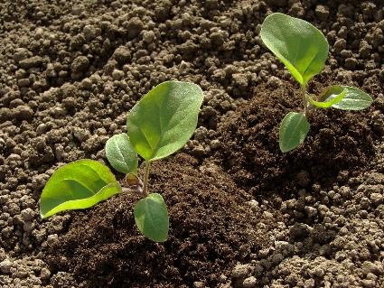 Eggplant-seedlings.jpg