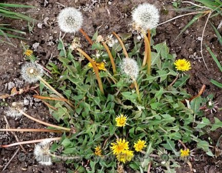 Taraxacum officinale 23, Orange, NSW - processed.jpg
