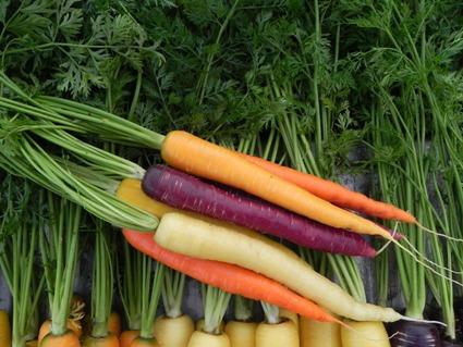 Carrot, Yellow Pak, Sherbert, Cream Pak, Purplesnax, Sugarsnax 54, 110512 (16).JPG