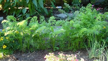 carrot_plants.jpg