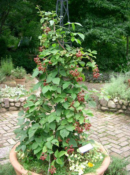 Rubus_fruticosus1.jpg