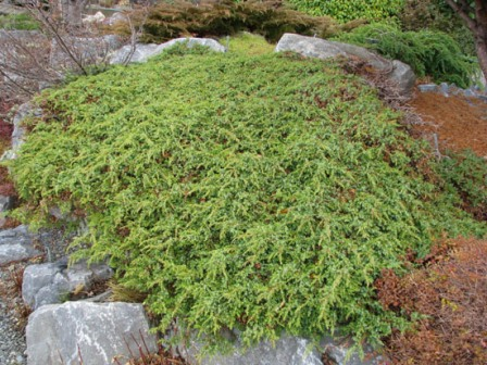 Juniperus communis saxatilis Nov 2009_1.jpg
