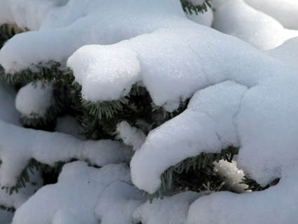 Evergreen with Snow_1.jpg