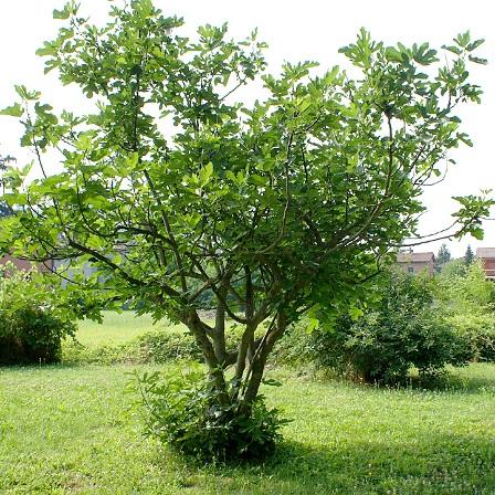 Ficus_carica-00.jpg