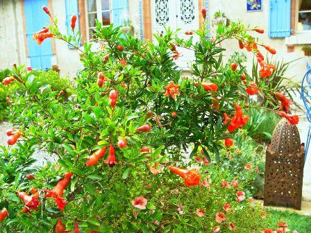punica-granatum-small.jpg