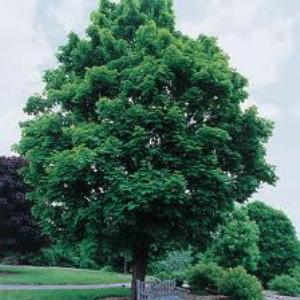 Acer platanoides.jpg
