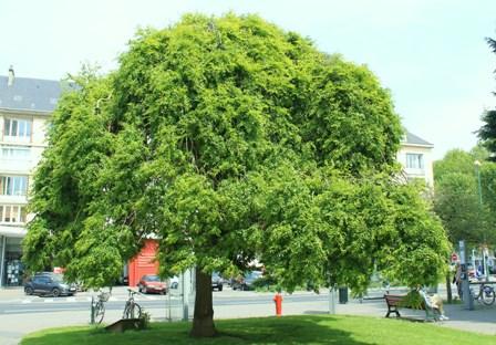 sophora_japonica_pendula.JPG