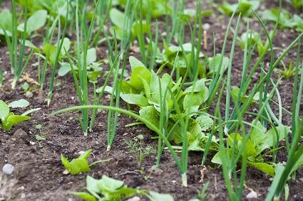 Spinach-onions-LB0805-9855.jpg