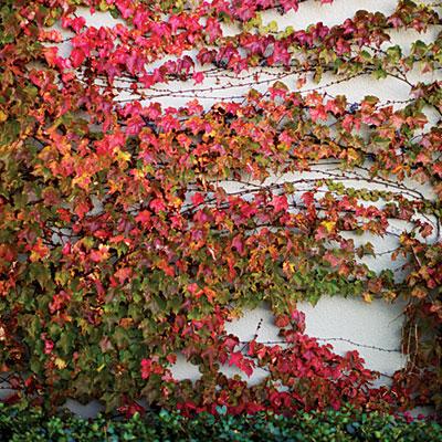 parthenocissus - vadszőlő 1.jpg