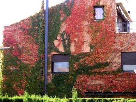 parthenocissus - vadszőlő 4.jpg